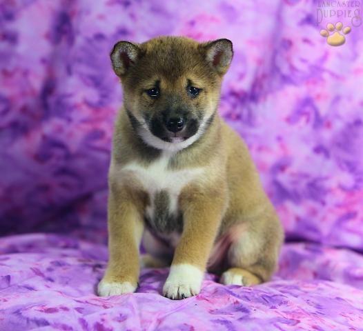 Shiba Inu Puppies For Sale Shiba Inu Puppies For Sale Swansea