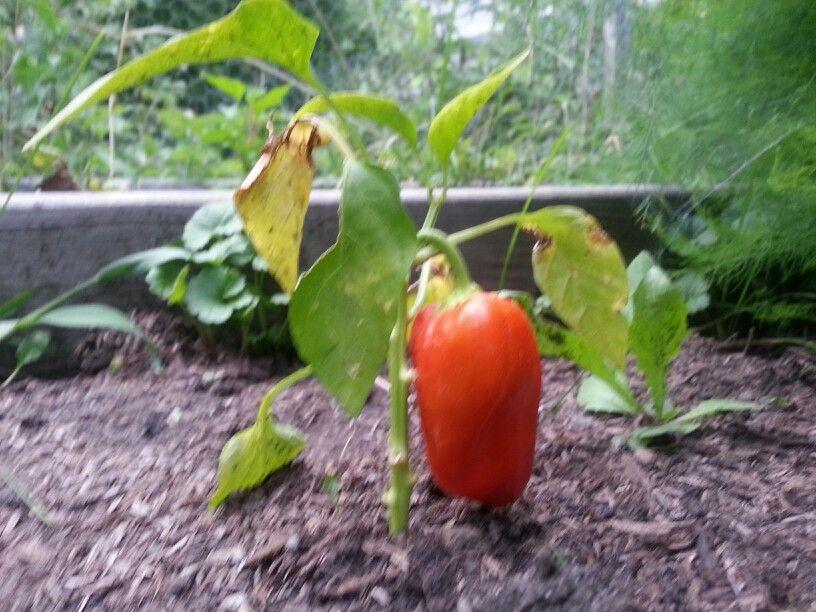Pepper - Bonnie's garden