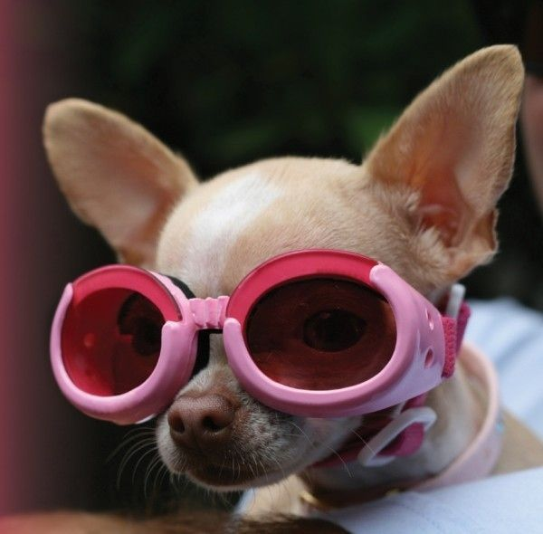 Dogs Wearing Goggles Chiweenie Puppies Pet Clinic Pets