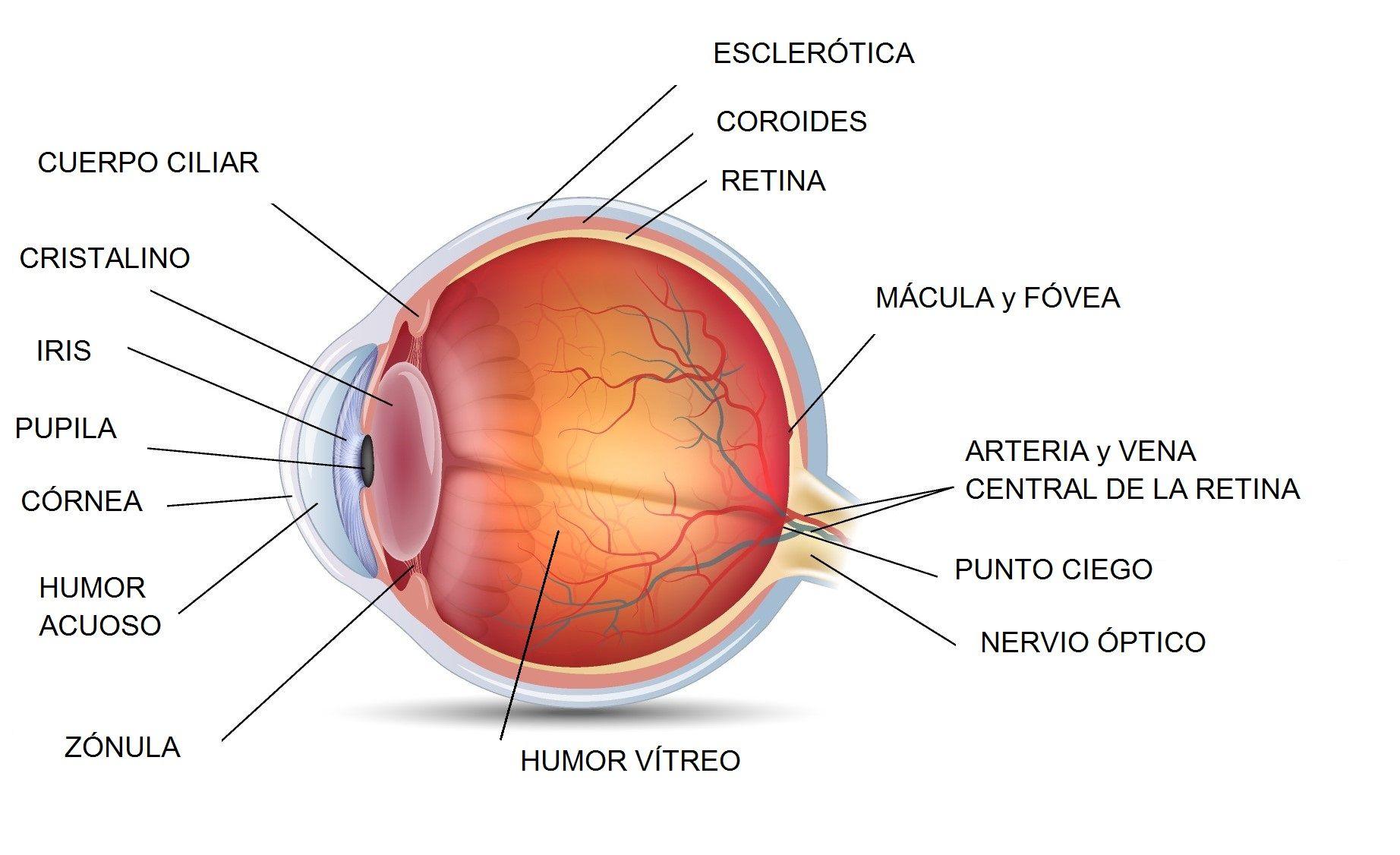 Resultado de imagen para anatomia de retina | informacion medica ...