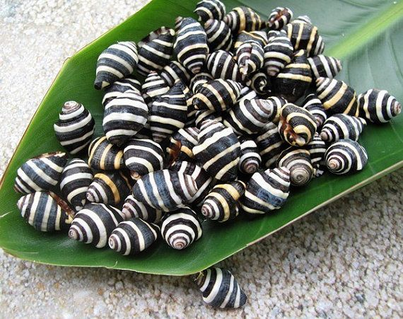 50 Bumble Bee Snails Natural Seashells By Seasidestore On Etsy 7 00 Bumble Bee Sea Shells Bumble