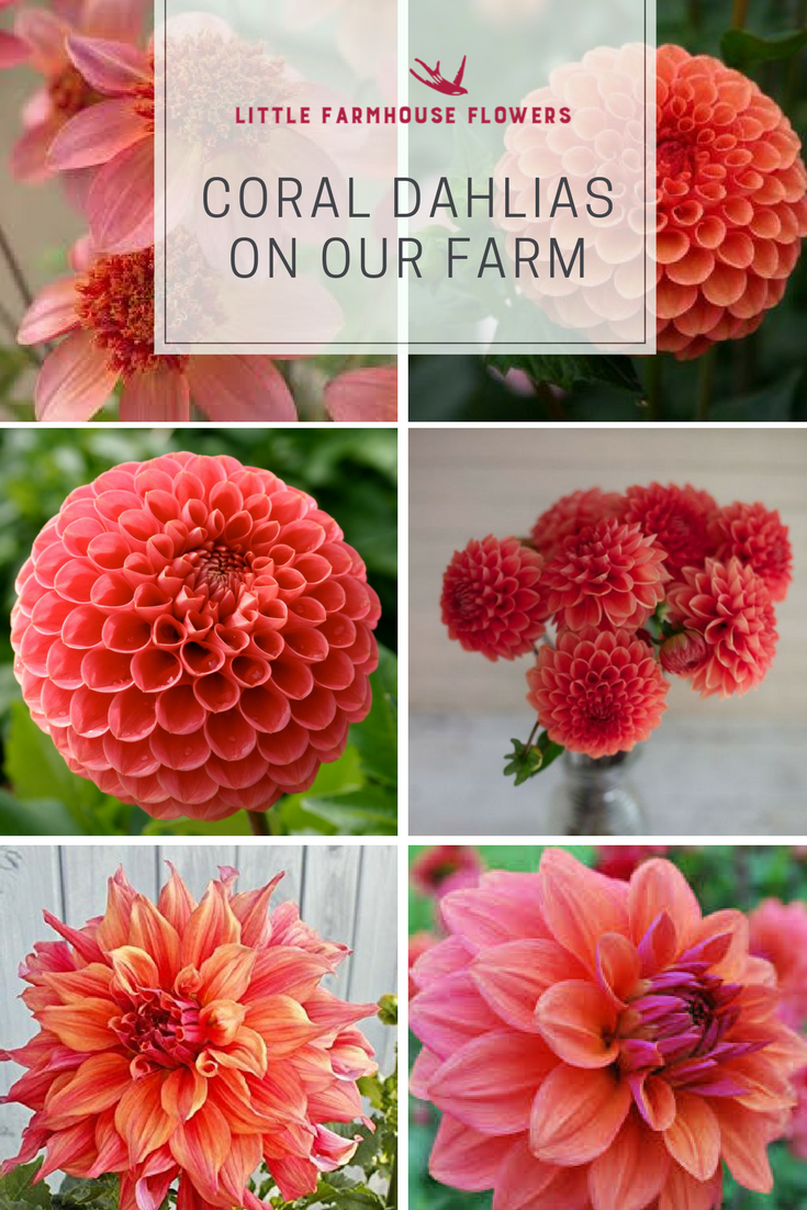 Dahlias On Our Farm Little Farmhouse Flowers Flower Farm Dahlia Dahlia Flower