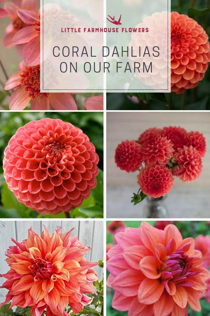 Dahlias on our Farm | Pinterest | Dahlia and Farming
