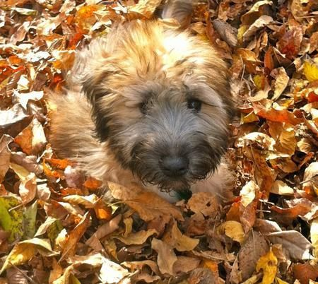 Gilbert The Soft Coated Wheaten Terrier Pictures 1049612 Wheaten