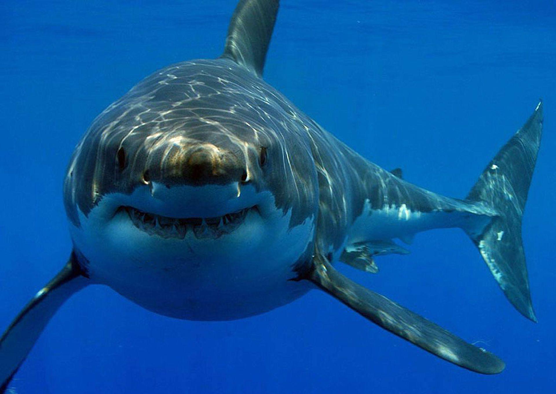 Fondo Escritorio Tiburon | Tiburon blanco, Imágenes de tiburones ...