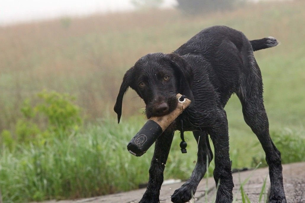 Retriever Tips And Tactics Dogs Dog Training Duck Hunting