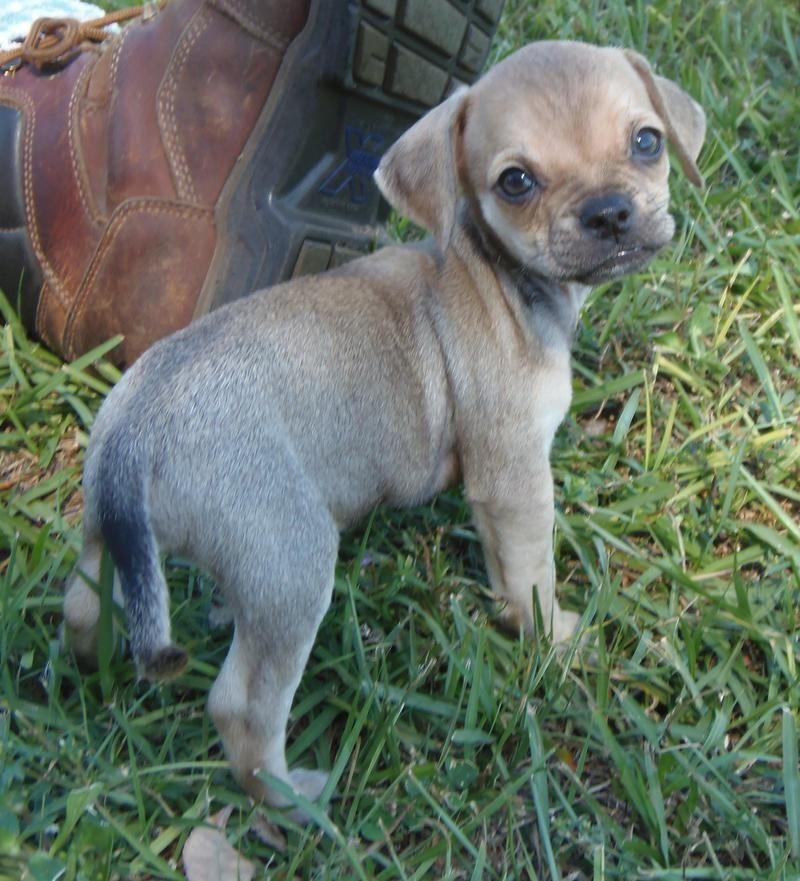 Adopt Pending Lil Bit On Cute Dogs Pug Beagle Mix Pug Beagle