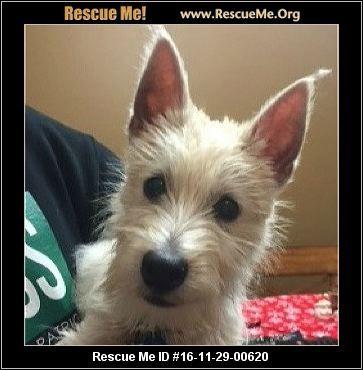 Nebraska Westie Rescue Adoptions Rescueme Org Westies Post