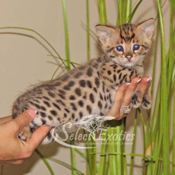 F1 Savannah Kittens For Sale Savannah Kitten Savannah Kittens