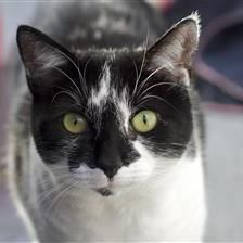 Dolly - Cat Rehoming & Adoption - Wood Green Animals Charity -Godmanchester, England- This kitty is just SO CUTE I had to share her!!! What a little doll!!!!!