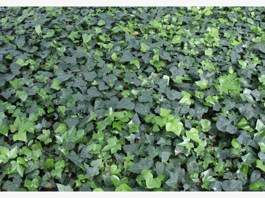 Gartenstraucher Immergrun Winterhart Eigenschaften  Wohndesign