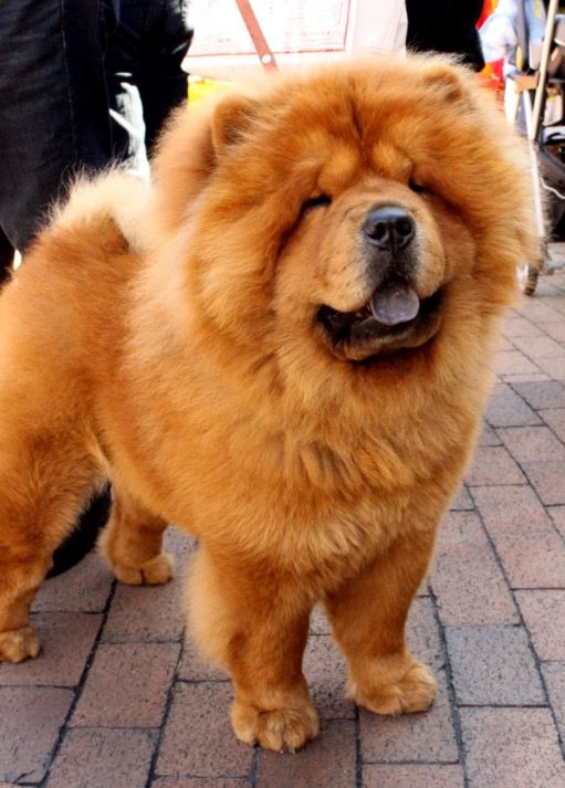 Cute Puppy Images Wallpaper Fluffy Chaw Chaw January Chow Chow Fluffy Dogs Fluffy Dog