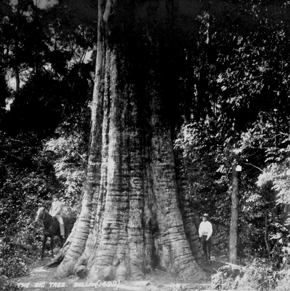 1891 Big Bulli Tree Blackbutt Height 57 6 Girth 45 With Images Big Tree Tree Natural Architecture