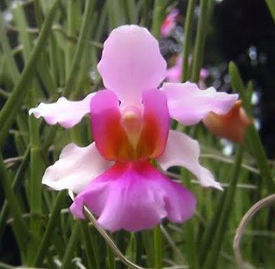 Vanda Orchid Miss Joaquim National Flower Of Singapore Orkideler Cicek Cicekciler