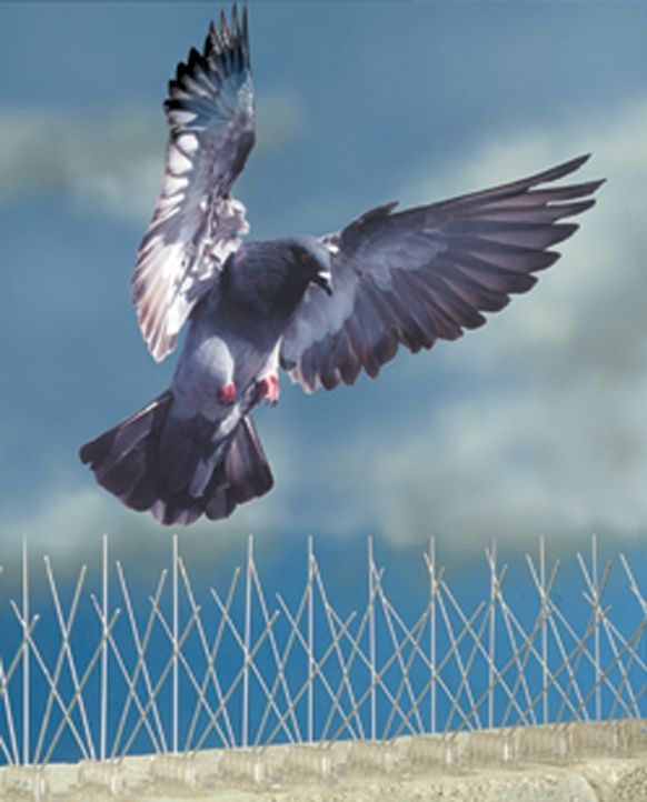 How To Get Rid Of Pigeons And Other Birds Home Remedies Get Rid Of Pigeons Bird Control Pigeon