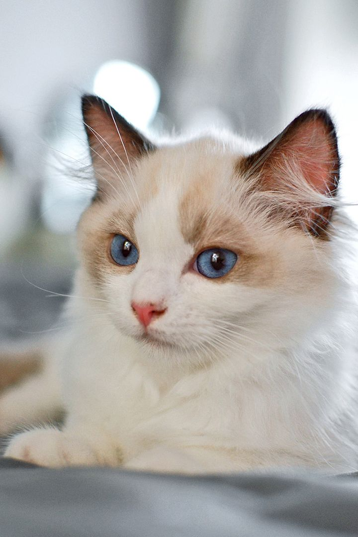 What Is The Average Ragdoll Lifespan Cute Cats Kittens Cutest Cute Cats And Kittens