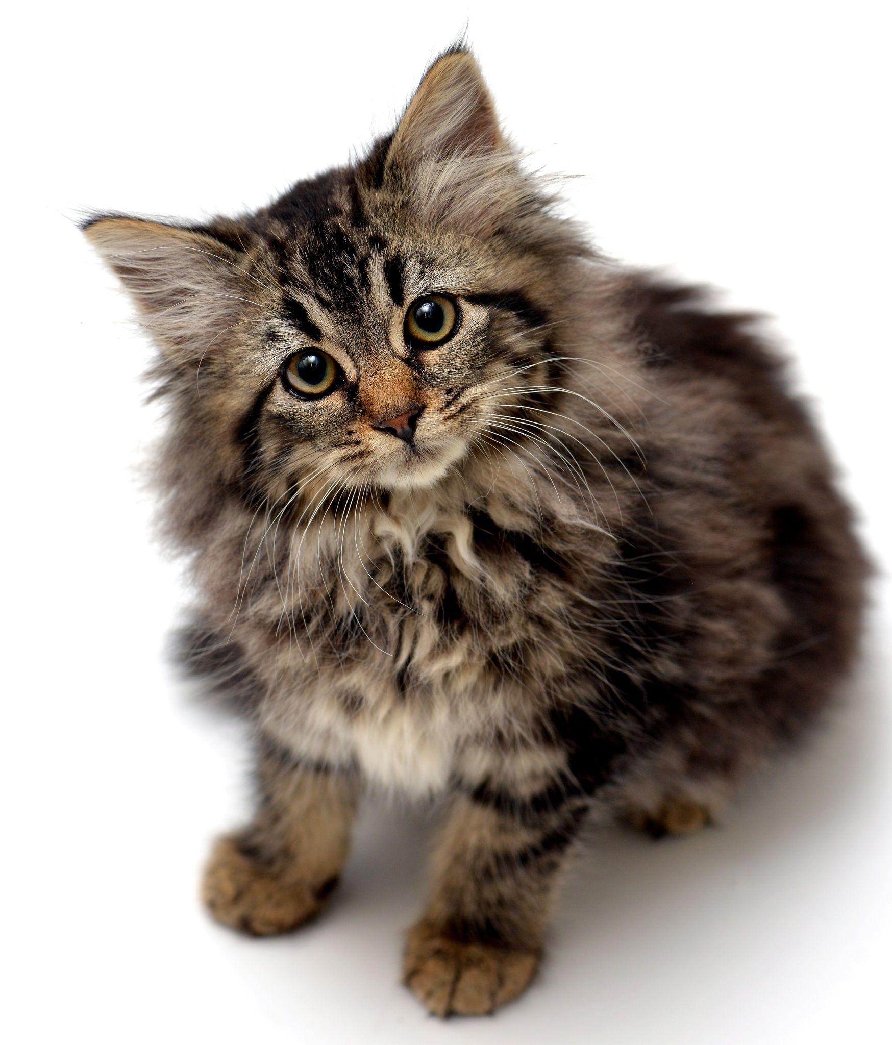 This Is A Long Hair Tabby Kitten Named Ginny By Josh Norem Russische Blaue Katzchen Katzen Draussen Blaue Katzen