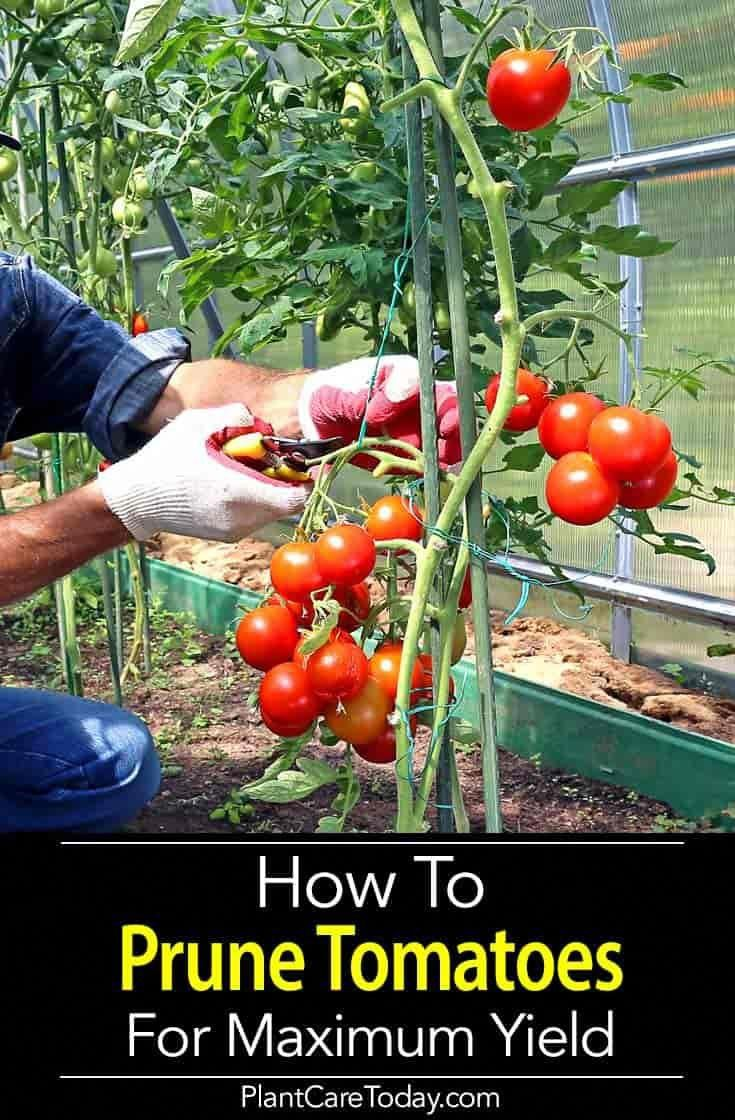 Learning how to prune tomato plants correctly will give the greatest yield and you're rewarded with larger fruit that actually ripens quicker. [LEARN MORE] #gardeningtips #tomatenzüchten