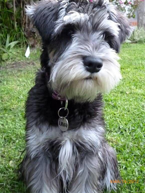 Miniature Schnauzer Dog Sitting Schnauzer Grooming Mini Schnauzer Schnauzer Puppy
