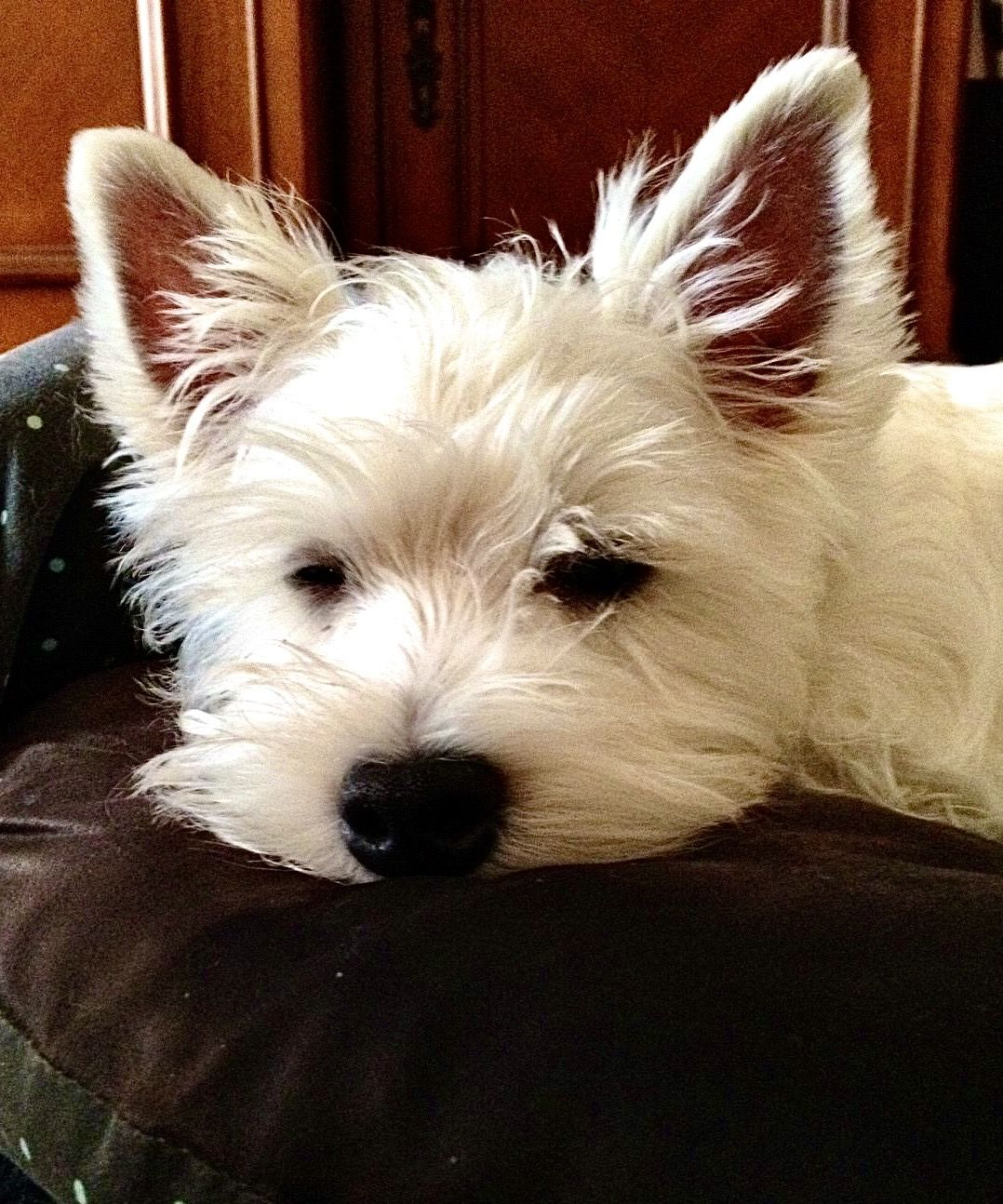 Pin On Westies Remembering Muffin Xx