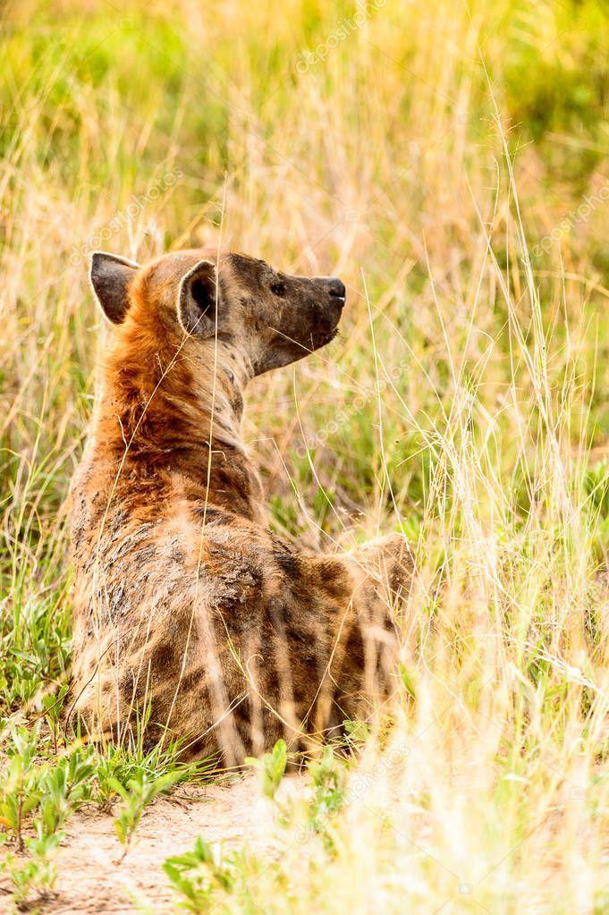 Close View Hyena Grass Moremi Game Reserve Okavango River