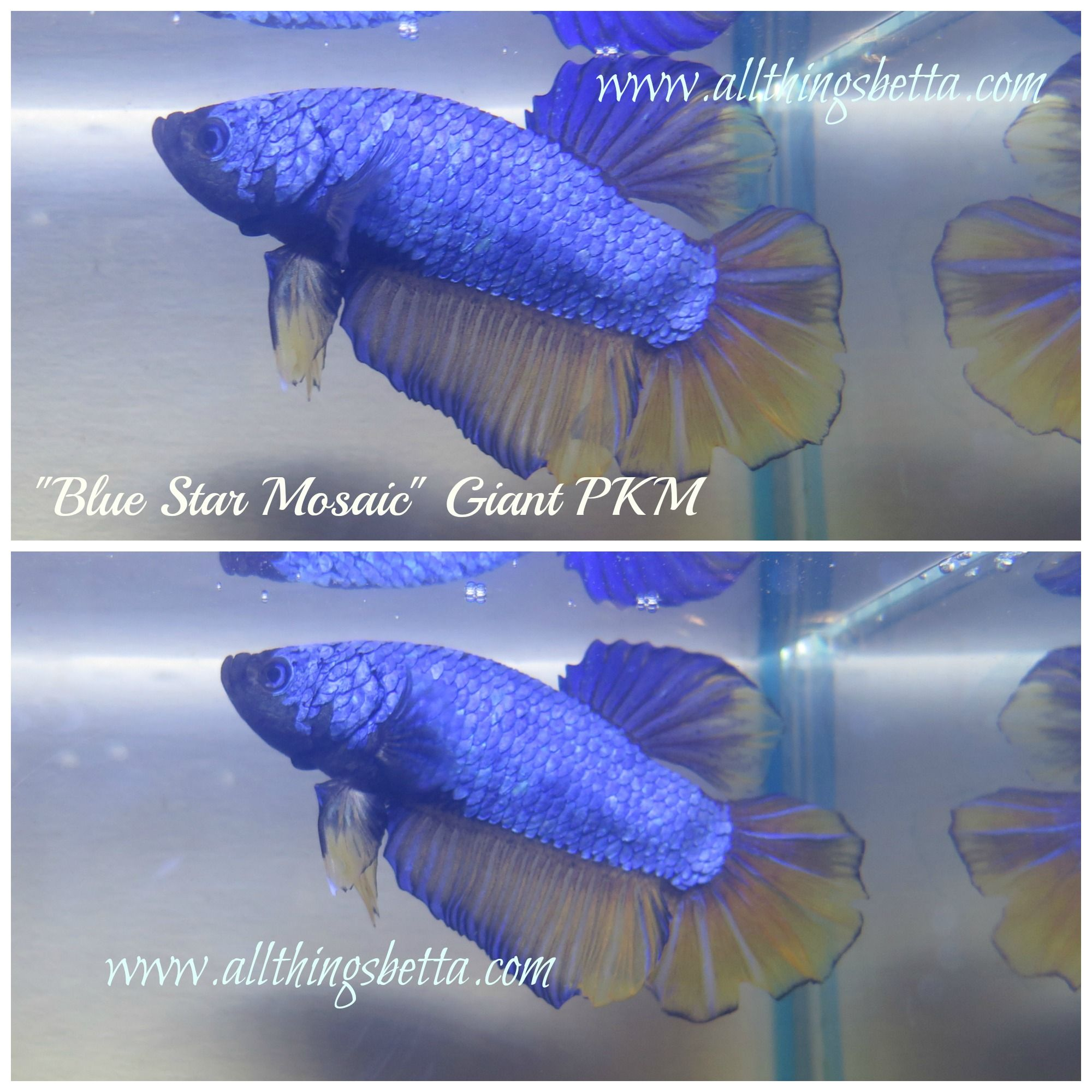 Pretty Giant Plakat Betta Male available from www