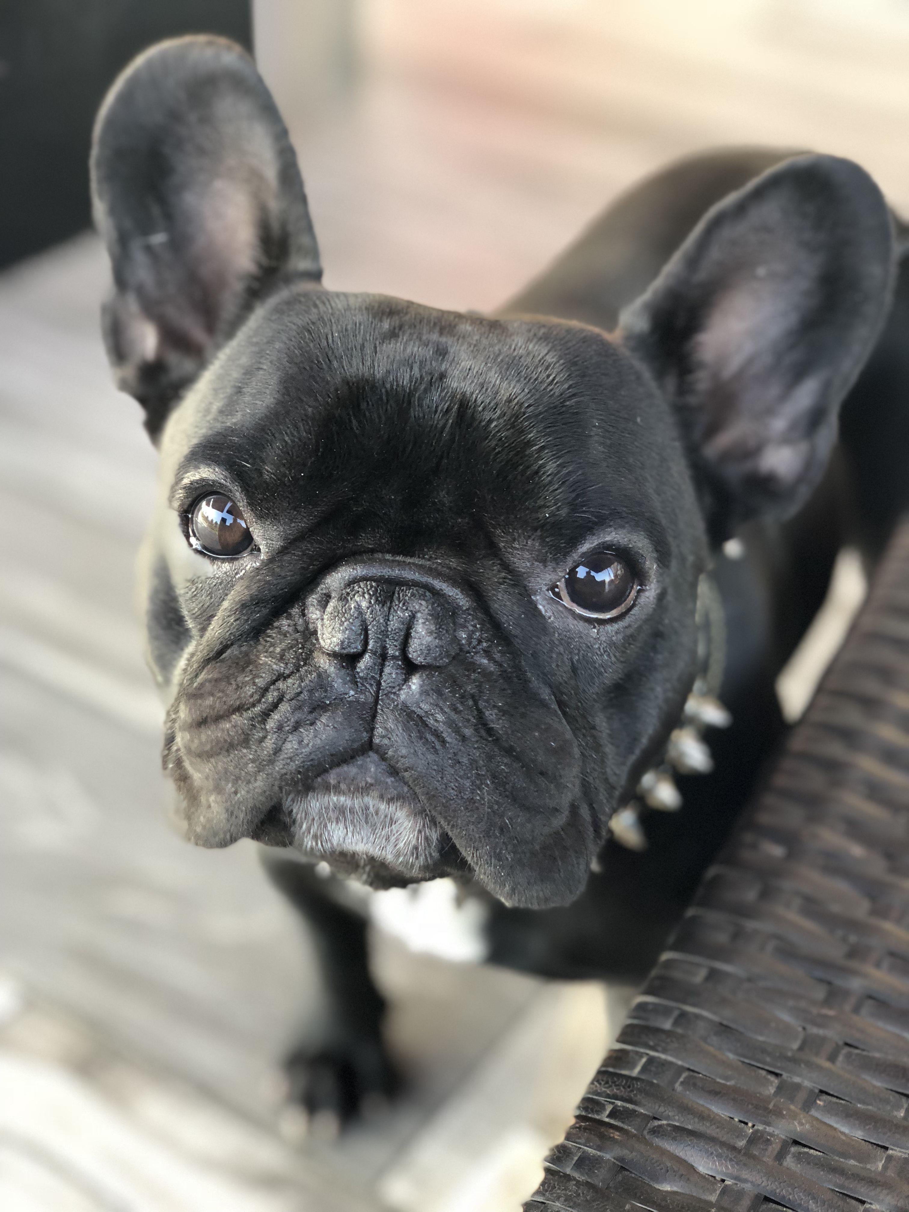 Mirando a mi mamá French bulldog, Dog mama, Bulldog