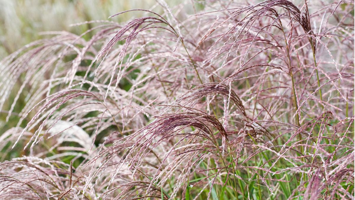 Pin By Paula Robinson On Garden Ornamental Grasses Shrubs For Privacy Garden Shrubs