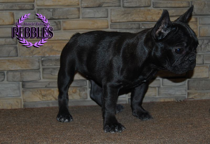 French Bulldog Puppy For Sale In Chandler Az Adn 68464 On