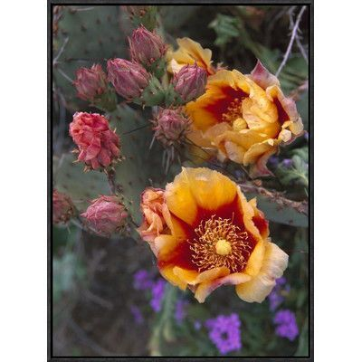 Global Gallery Opuntia in Bloom, North America by Tim Fitzharris Framed Photographic Print on Canvas Size: