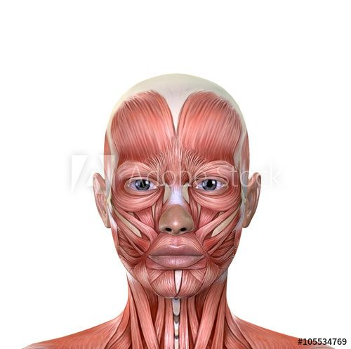 Female Face Muscles Anatomy Art Science Of Psychotherapy