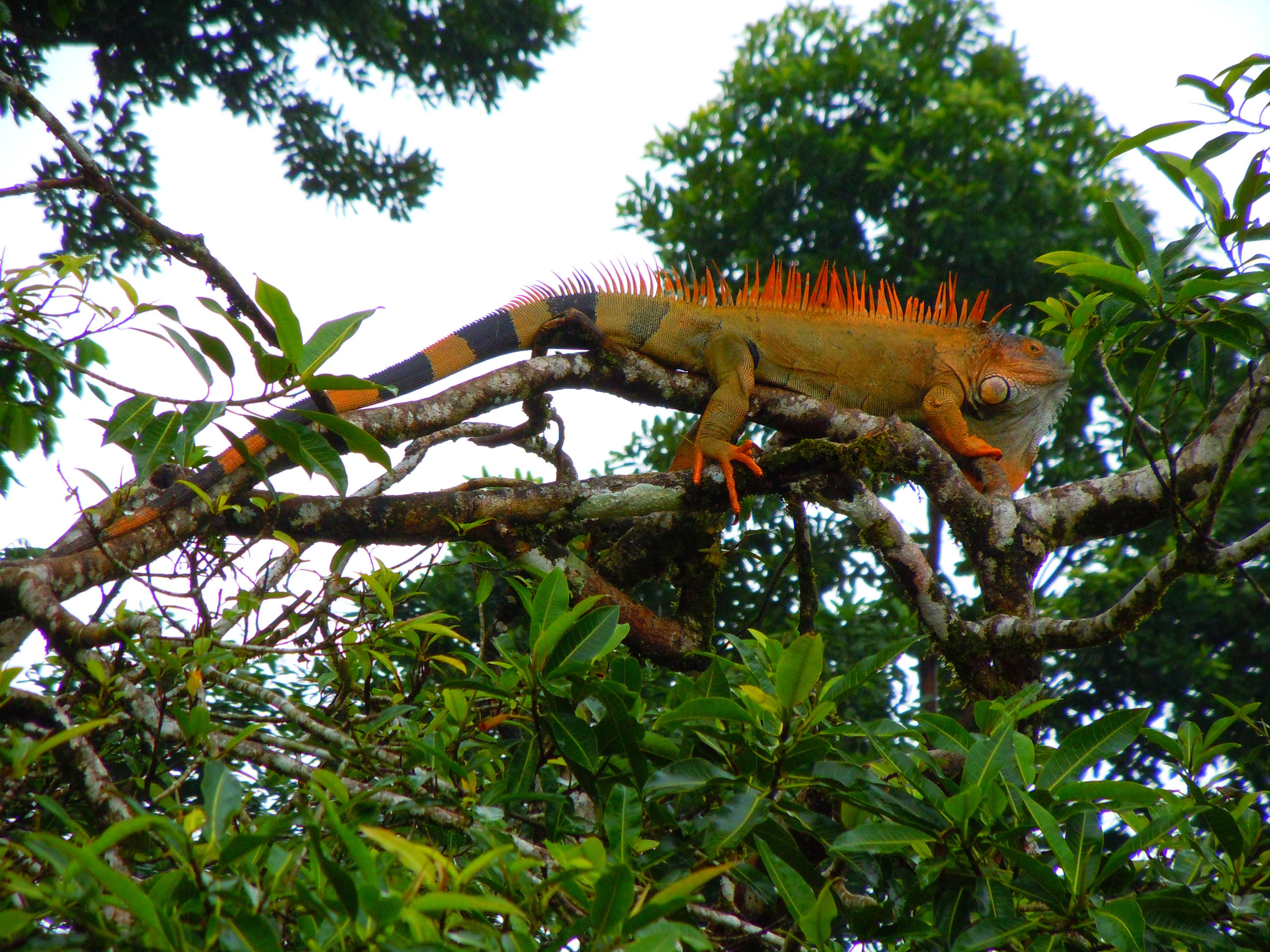 image result for costa rica iguana costa rica iguanas