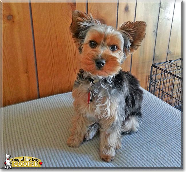 Cooper The Yorkshire Terrier From Madison Wisconsin Is Today S Dog Of The Day Read Cooper S Story And See His Pho Dog Photos Dogs Yorkshire Terrier