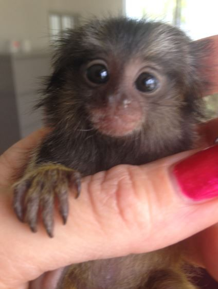 Pygmy Marmoset Oh My Gosh You Can Buy These Adorable Monkeys From This Animal House Love It Monkeys For Sale Cute Baby Monkey Baby Monkey For Sale