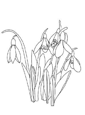 Ausmalbild Schneeglockchen Zum Ausdrucken Und Ausmalen Ausmalbilder Malvorlagen Kindergarten Blumen Schnee Ausmalbilder Schneeglockchen Ausmalen