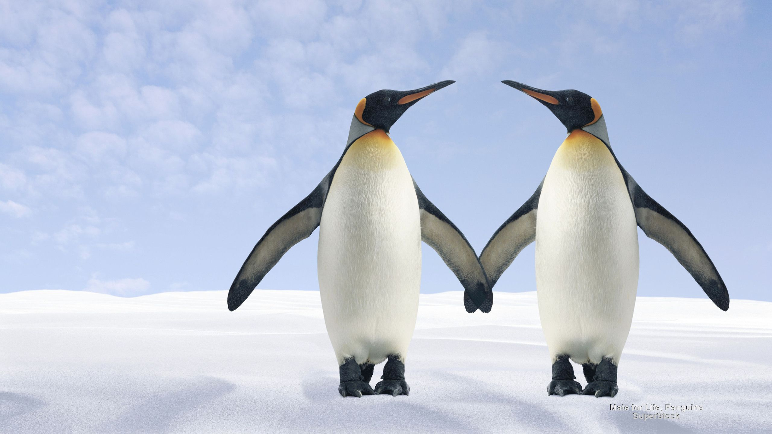 Mate For Life Penguins