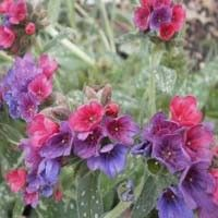 Raspberry Splash Lungwort