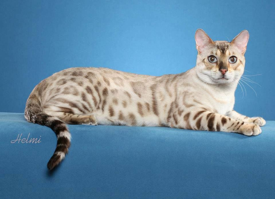 Bengal Cats Bengal Kittens For Sale Snow Bengal Mn Bengal Kittens For Sale Bengal Kitten Bengal Cat