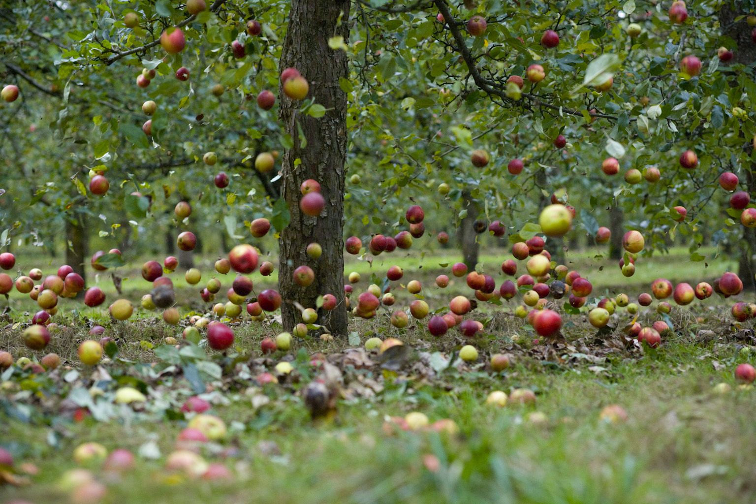 Apples Falling From A Tree