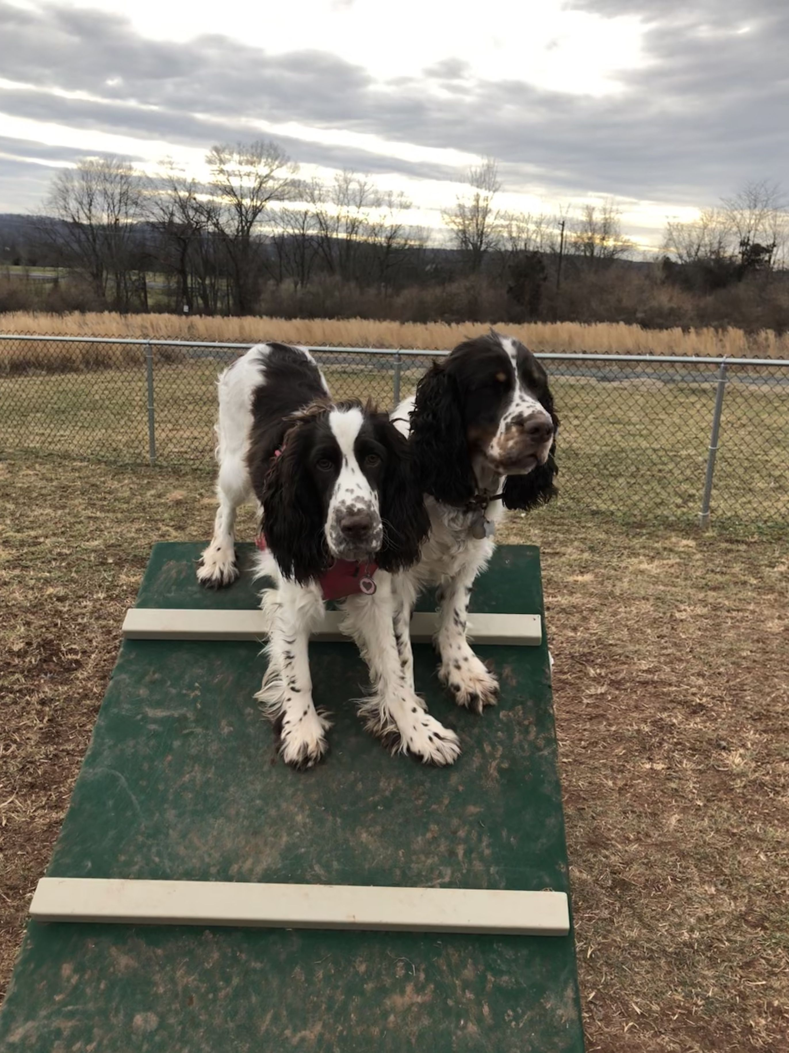 Pin By Daniela Johnson On Phoebe And Other Springers Animals Spaniel Dogs