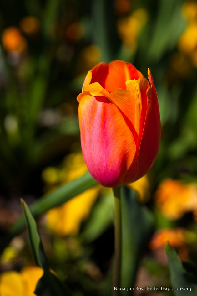 Orange Tulip | PerfectExposue.org | Your portal to royalty free photographs