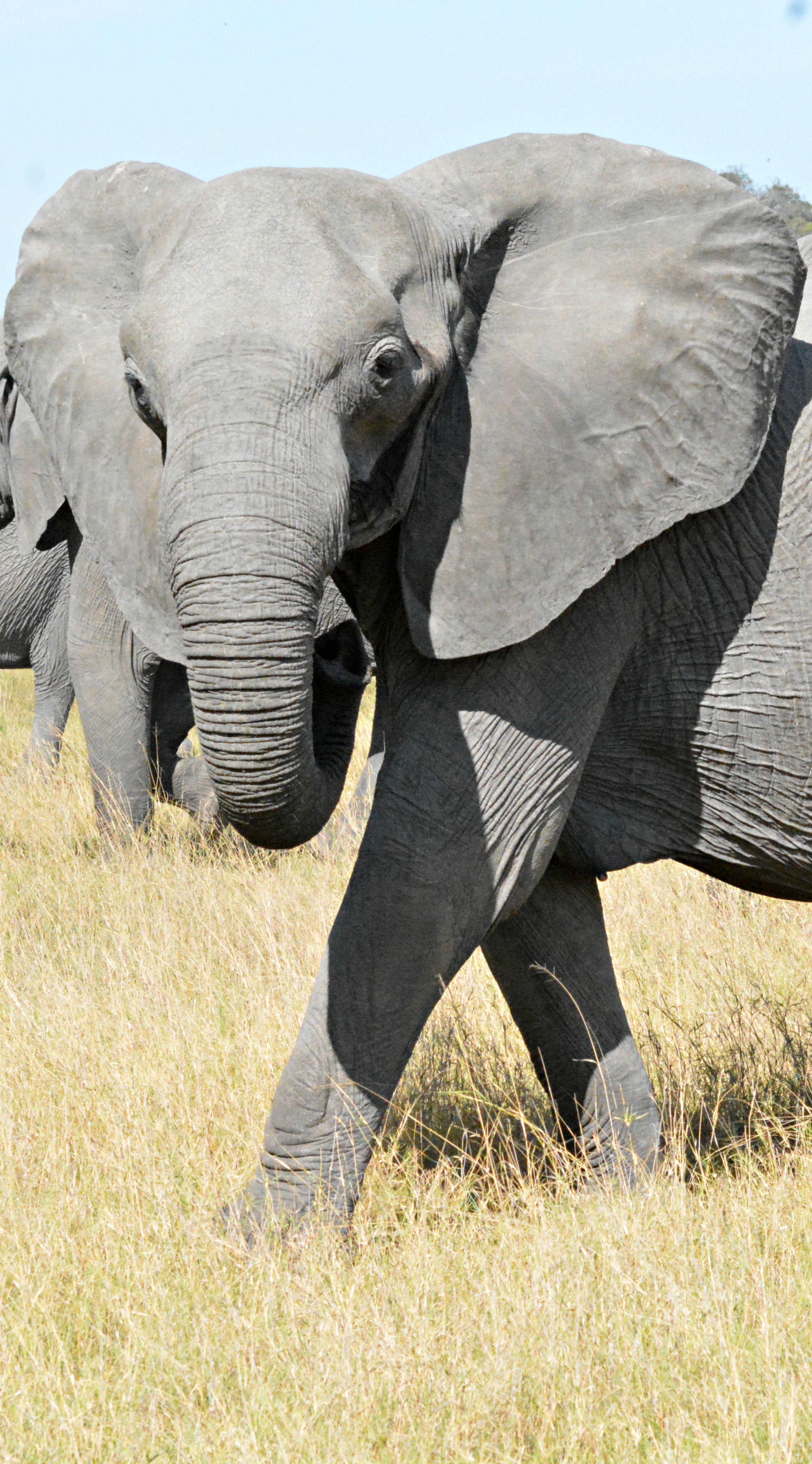 Botswana elephant (Wil 5410) | Elefantes | Pinterest | Elefantes, El ...