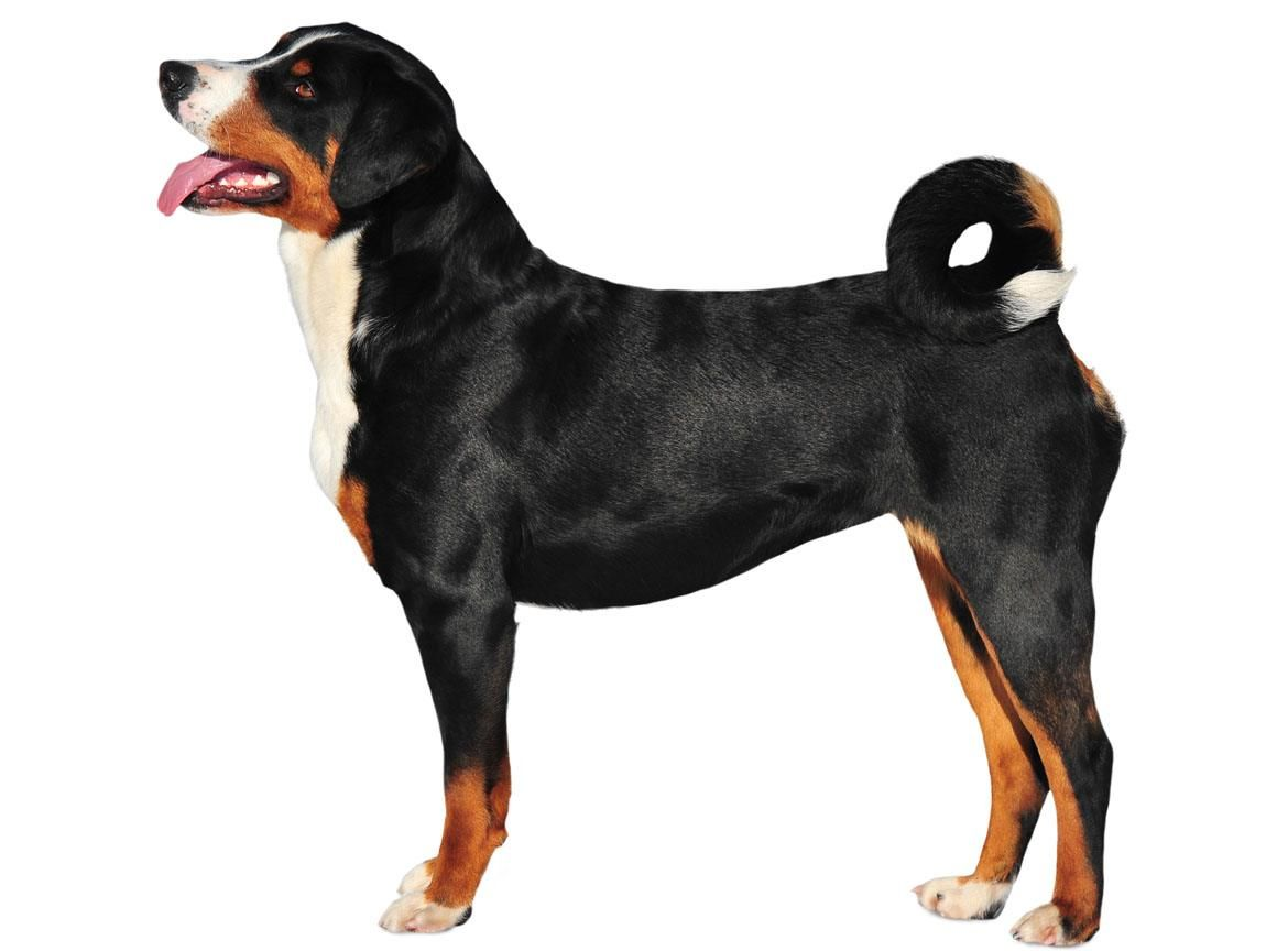 Appenzeller Sennenhunde Dog Breed Guide Dogs Dog Breeds