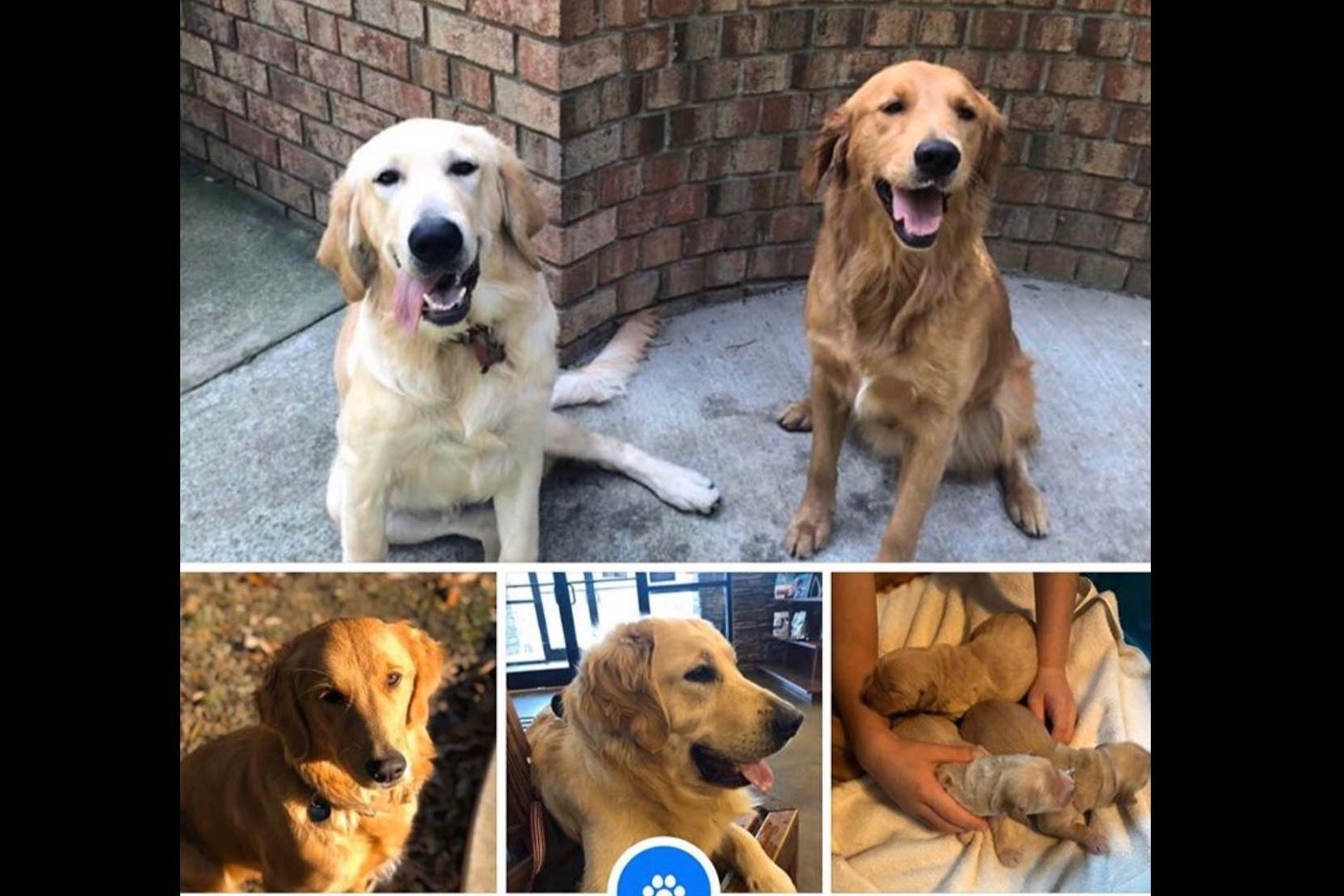 Bella's Puppies Has Golden Retriever Puppies For Sale In