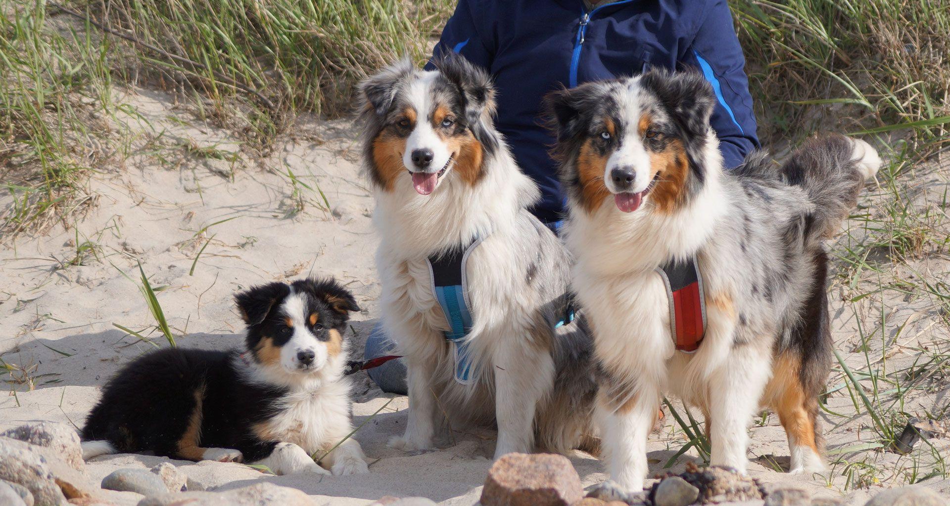 Start Baltic Star Aussies Australian Shepherd Zucht Entdecken Sie Den German Shepherd Australian Shepherd Mi In 2020 Australian Shepherd Dogs Australian Shepherd Dogs