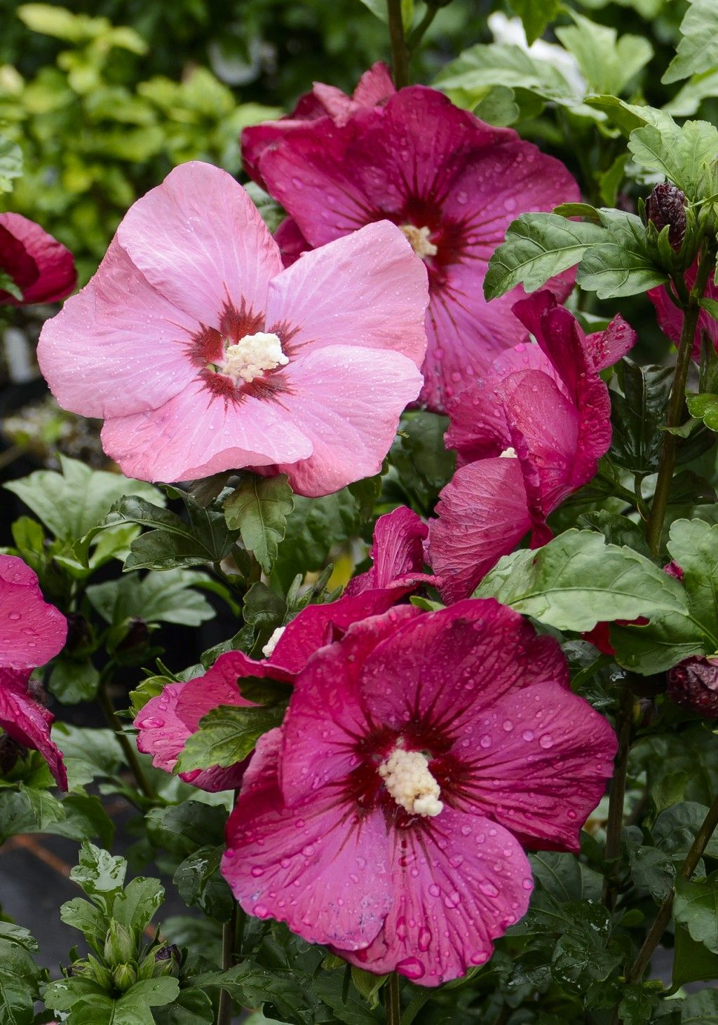 The awkward, twiggy rose of Sharon gets a makeover that makes it worth revisiting.