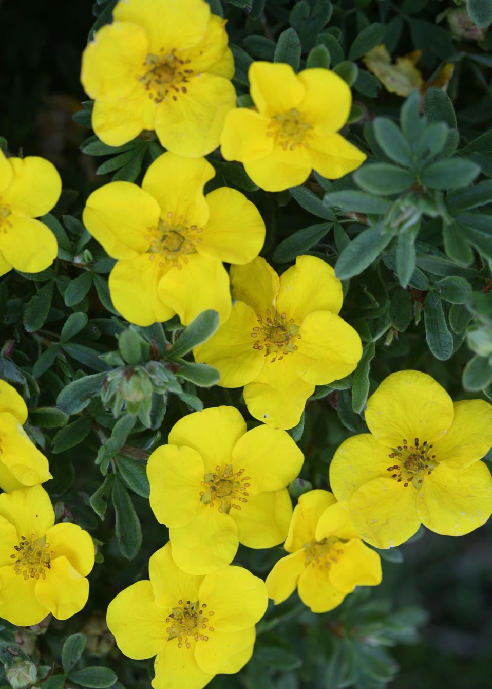 Arbusto A Fiori Gialli happy face® yellow - potentilla fruticosa (con immagini