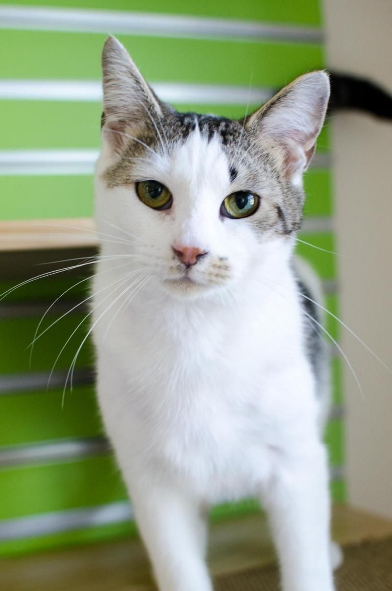 Adopt Fata On Grey White Cat Cute Cats Beautiful Cats