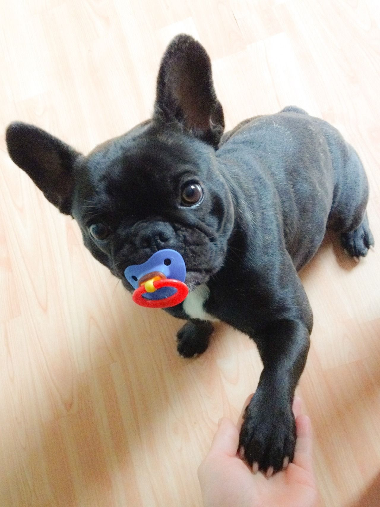 Pacifier Stealer Busted French Bulldog Susse Tiere Babytiere Hundebabys