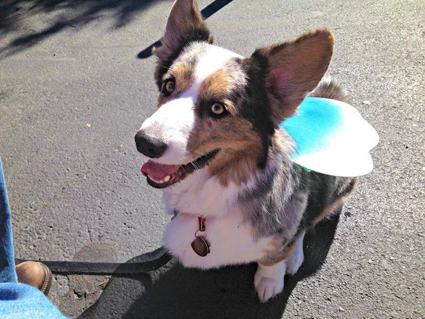 Dewi in his corgi fairy wings!